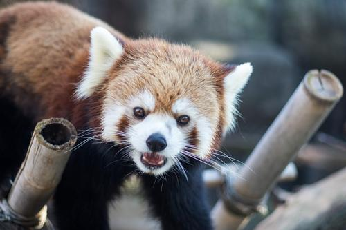 A new red panda exhibit will be included in the massive expansion plans
