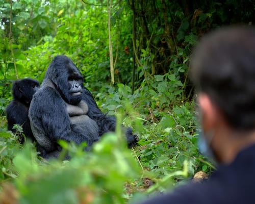 National parks in Africa close down to protect endangered gorillas and chimpanzees from coronavirus