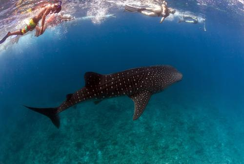 Whale shark pod becomes popular eco-tourist attraction in the Maldives