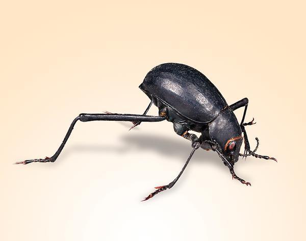 The Namibian fog-basking beetle creates its own fresh water in the desert