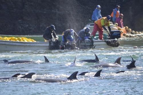 JAZA members vote to ban Taiji dolphin hunts
