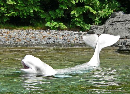 Vancouver Aquarium is under pressure as a result of its whales in captivity / Wikipedia