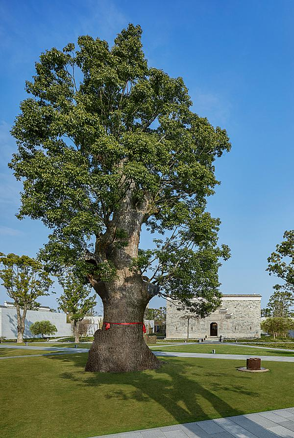 The biggest tree that was moved is nicknamed 'King Tree'