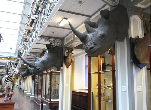 Rhino heads stolen from National Museum of Ireland