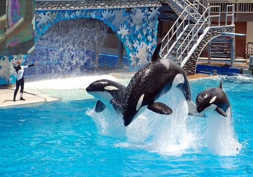 Proposed legislation would ban Orca shows in California