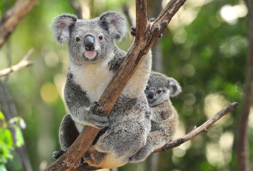 Koala conservation top of the agenda at wildlife conference
