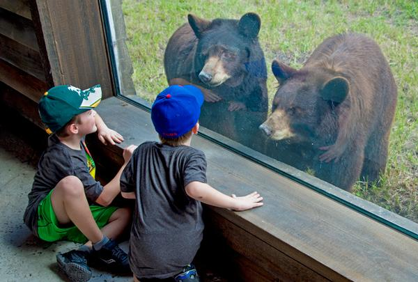 Bears pecker ridden unprotected