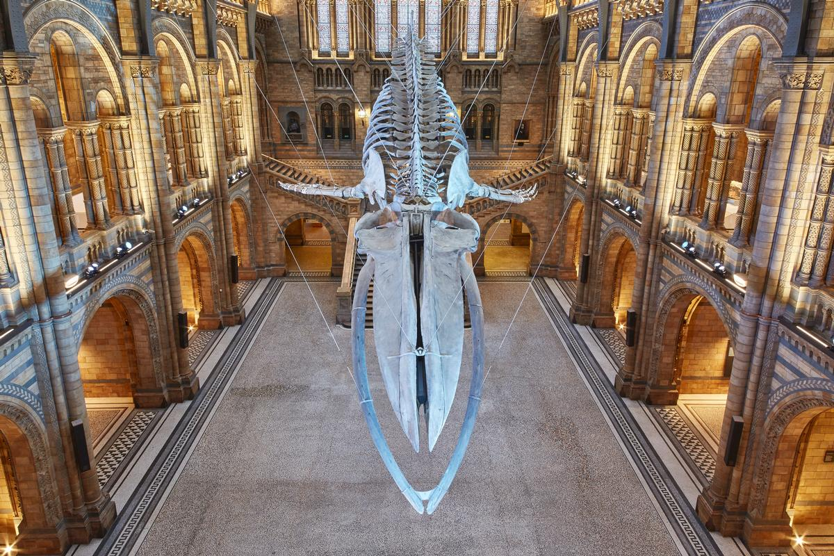 The suspended blue whale skeleton is the focal point of the revamp / NHM
