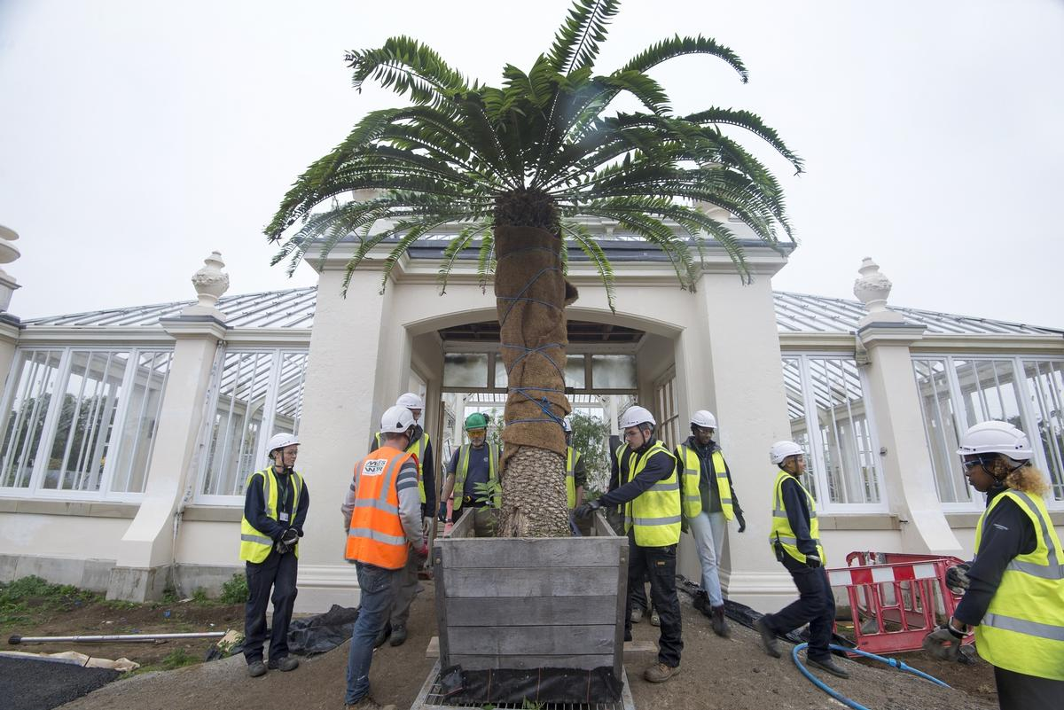 The rare Encephalartos woodii going back into the Temperate House