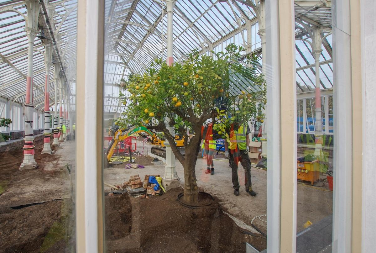 The first tree back in The Temperate House - the Orange Tree / © Board of Trustees, RBG Kew