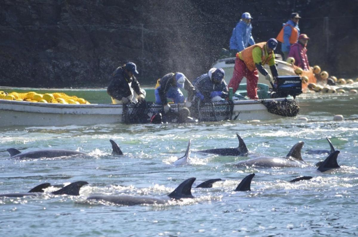 In a statement, JAZA said the body would prohibit its members from acquiring wild dolphins caught by drive fishing in Taiji / Sea Sheperds