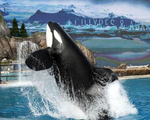 In San Diego, SeaWorld has replaced its controversial orca show with a more natural version / SeaWorld