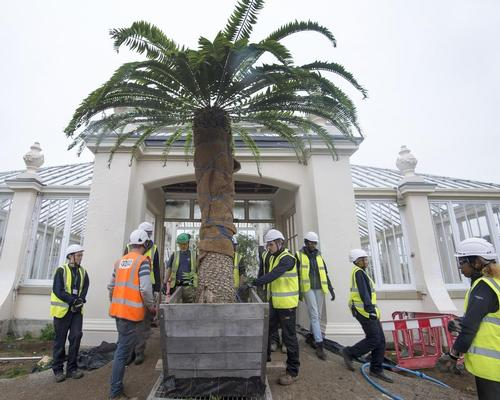 The rare Encephalartos woodii going back into the Temperate House / © Board of Trustees, RBG Kew