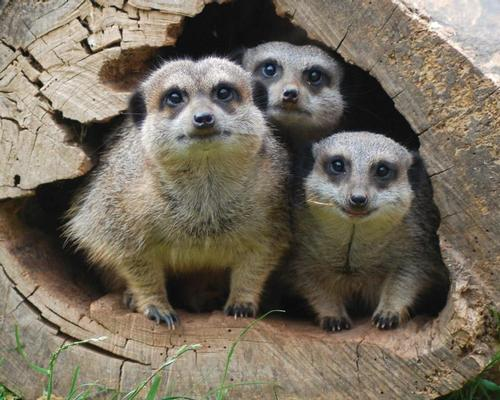 The successful candidate will be responsible for animals including the park's popular meerkats at Meerkat Manor / Crealy Great Adventure Park