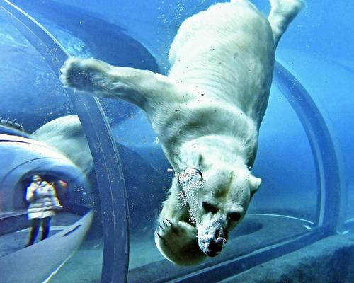 Sapporo Maruyama Zoo welcomes Japan's largest polar bear exhibit