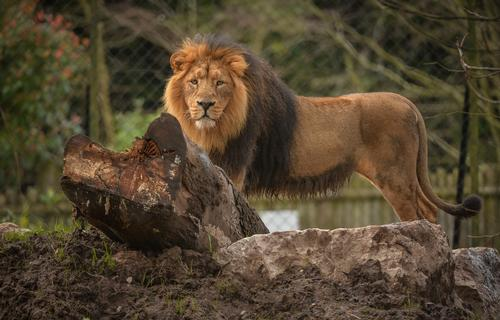 The zoo's Asiatic lions – an endangered species – will have a new state-of-the-art habitat later this year / Chester Zoo