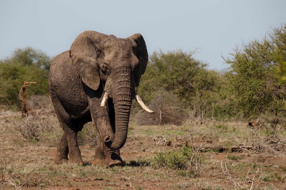 Around 20,000 elephants are killed per year for their ivory tusks / Shutterstock
