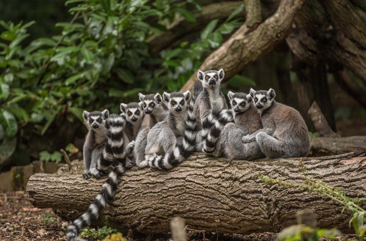 Visitors will be able to get closer to animals such as the ring-tailed lemur in Chester Zoo's new Madagascar zone / Chester Zoo