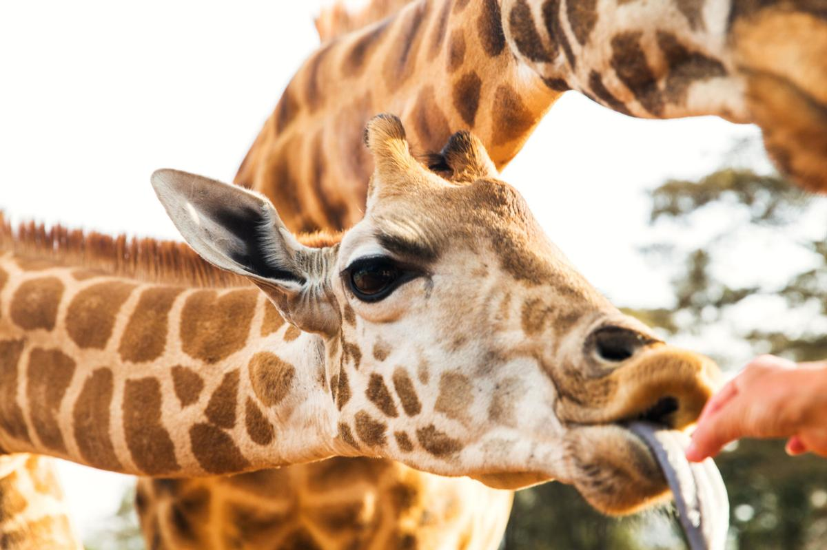 Visitors to Aggieland will be able to feed giraffes and many other animals / Aggieland Safari