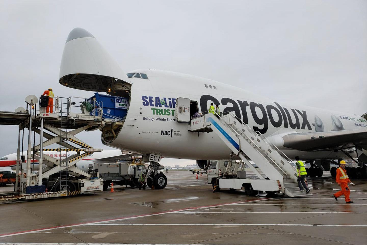 A specially commissioned Cargolux aircraft delivered the belugas to Iceland