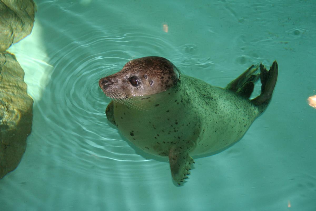 The Maritime Aquarium in Norwalk has five harbour seals / The Maritime Aquarium