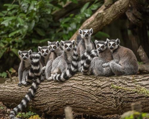Visitors will be able to get closer to animals such as the ring-tailed lemur in Chester Zoo's new Madagascar zone
