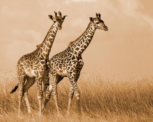 The zoo is looking to move the three giraffes it currently has and add to their number to grow the herd to around 15