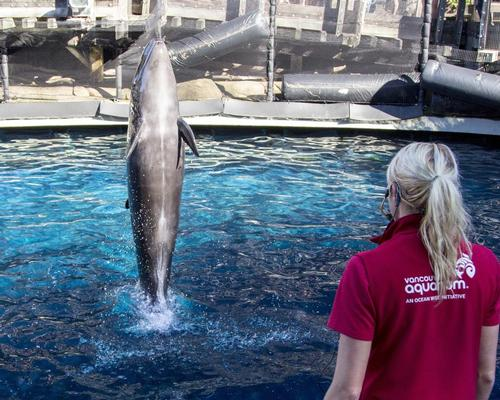 Better days: Chester, a false killer whale, being put through its paces at Vancouver Aquarium before the cetacean programme was halted