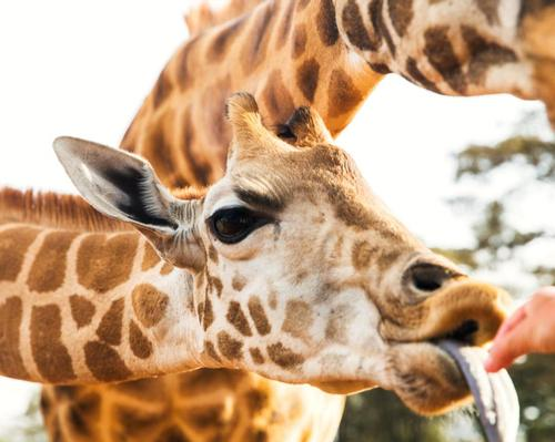 Visitors to Aggieland will be able to feed giraffes and many other animals
