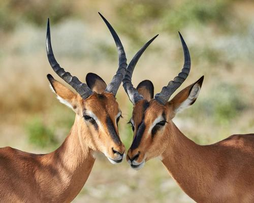 Impala in Namibia are among a thousand wild animals to be auctioned because of drought conditions