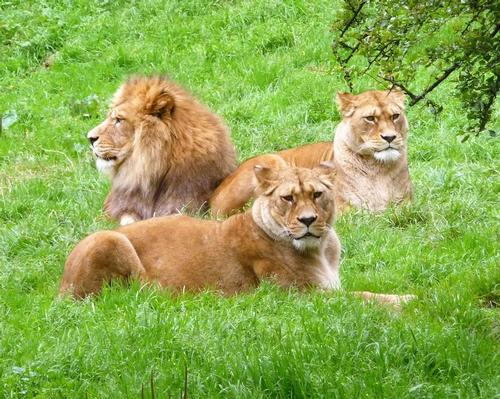 Belfast Zoo's three Barbary lions are part of a global collaborative breeding programme to ensure the survival of a species that is extinct in the wild / Shutterstock